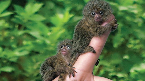 Smallest Primate Images & Stock Pictures. Royalty Free Smallest ...