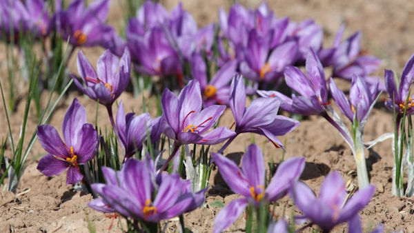 Saffron – The World's Most Expensive Spice
