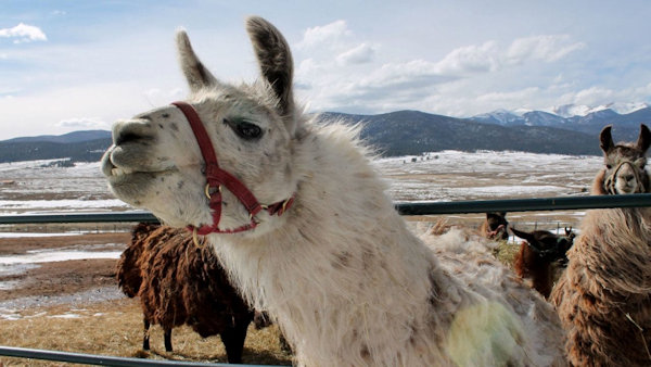 If Your New Year's Resolution is to Help Rescued Llamas, You're in Luck