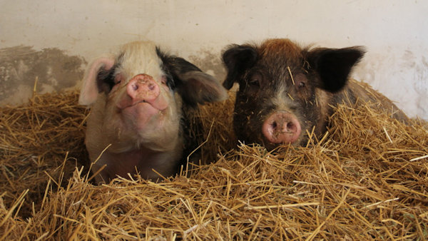 They'll Steal Your Heart – Get To Know The Rescued Farmed Animals at Catskill Animal Sanctuary